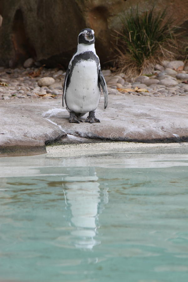 Penguin Zoo, reflection on water. One of the penguin standing, getting ready to jump into the water at the ZSL London Zoo stock photos