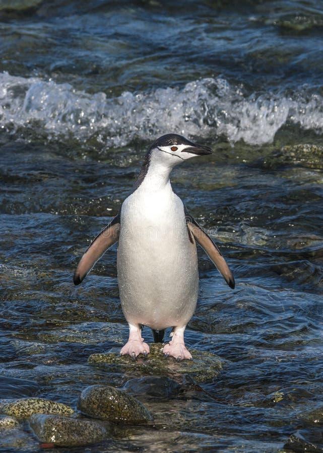 Penguinin Antartide di sottogola immagine stock