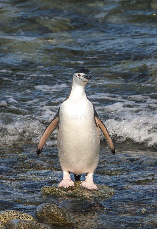 Penguinin Antartide di sottogola fotografia stock