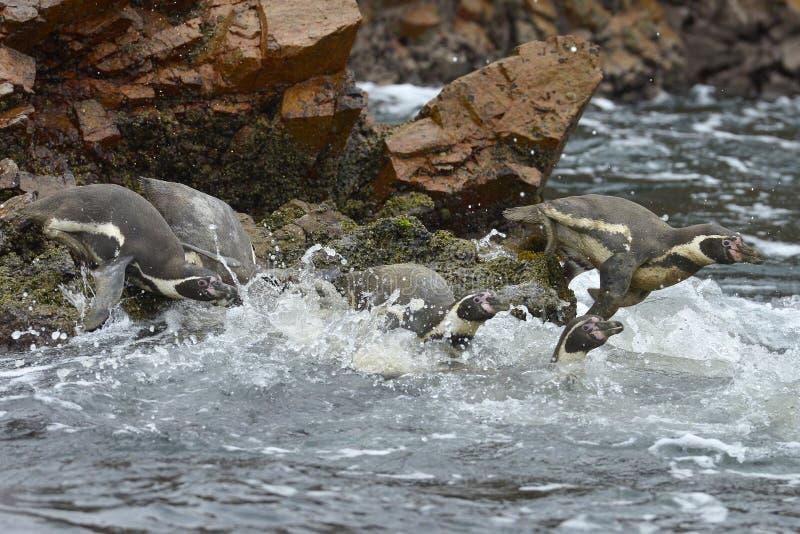 Penguins, νησιά Ballestas, Περού στοκ εικόνα με δικαίωμα ελεύθερης χρήσης