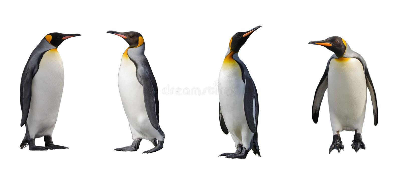 Penguins που απομονώνεται βασιλιάς στοκ εικόνες