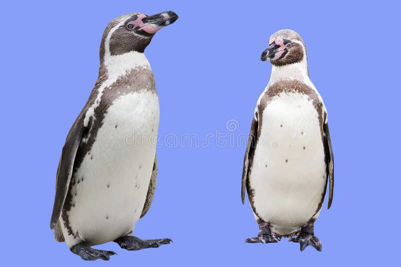Penguins stock images