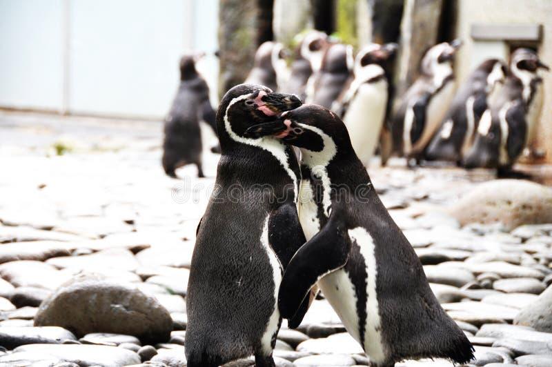 Download Penguins stock photo. Image of kiss, bird, black, penguins - 10668168