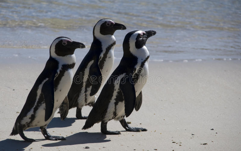 Penguins. Three or African penguins on Boulders Beech, South Africa royalty free stock photos