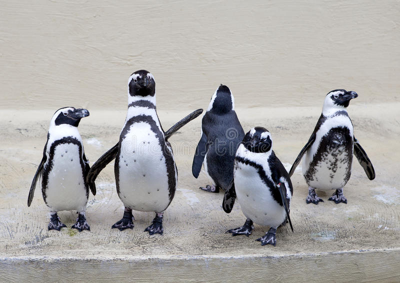 Download Penguins stock image. Image of penguin, salute, look - 26653353