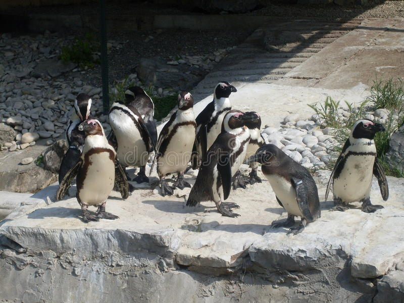 penguins fotografie stock libere da diritti