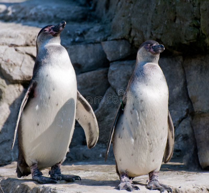 Free Penguins Royalty Free Stock Photos - 6722858