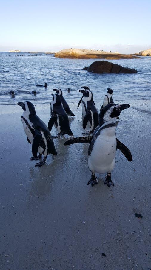 penguins fotografie stock