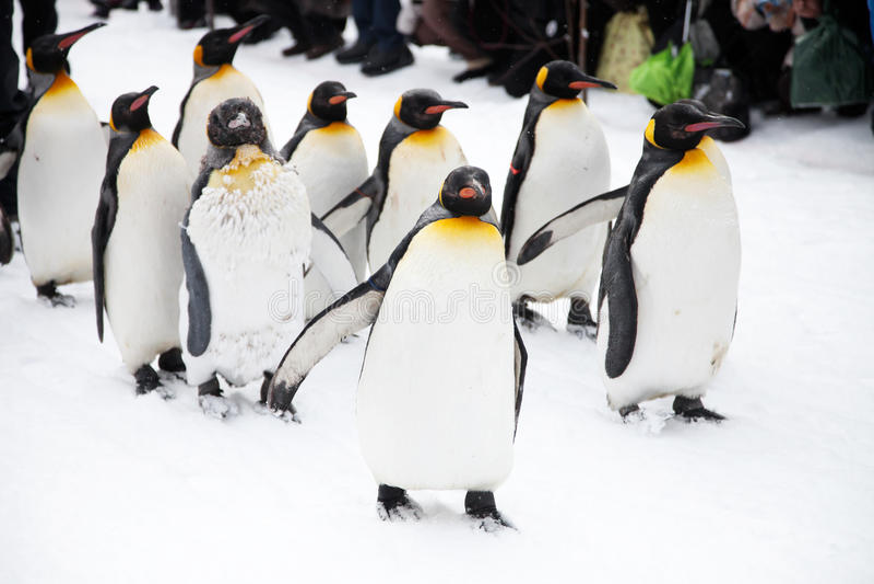 penguins stockfoto