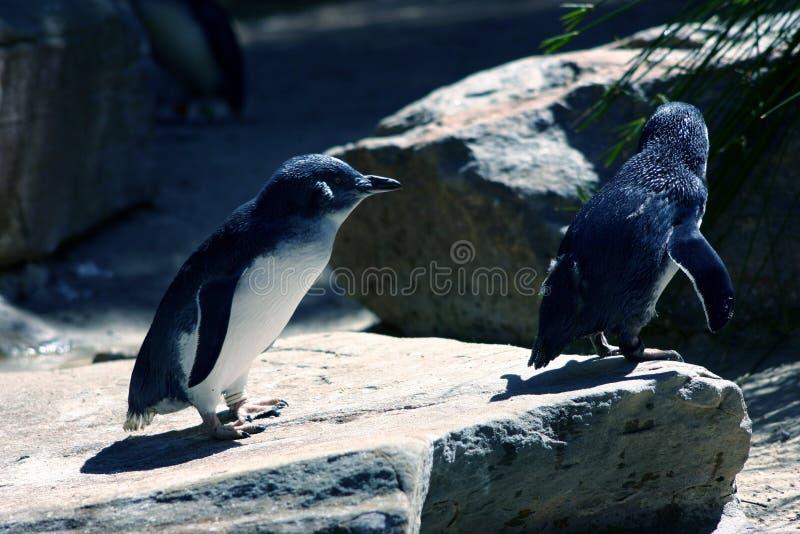Download Penguins stock image. Image of australia, natural, cold - 90575