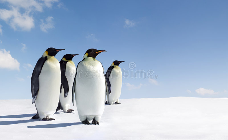 Penguins stock photo