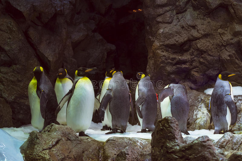 Penguins on the artificial glacier in Loro Park (Loro Parque), T. TENERIFE, SPAIN - JANUARY 15, 2013: Penguins on the artificial glacier in Loro Park (Loro royalty free stock image