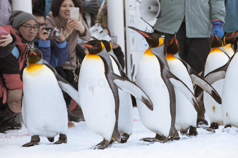 Penguins in Asahiyama zoo royalty free stock photos