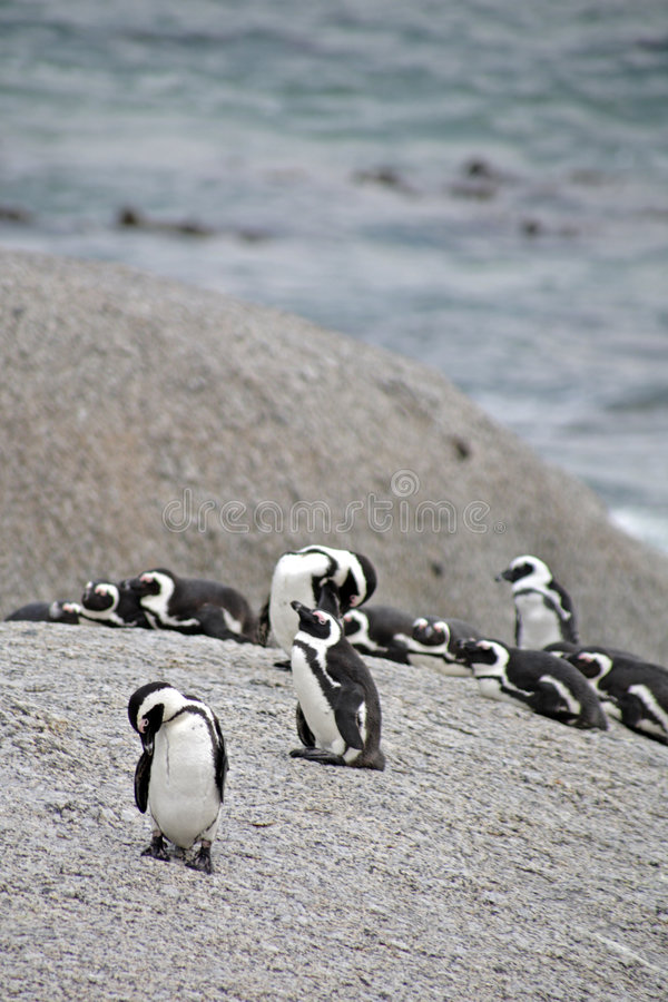 Free Penguins At Boulders Beach Royalty Free Stock Image - 4761946