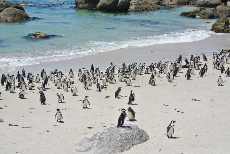 Penguins at the beach. Of Boulders bay, South Africa royalty free stock photos