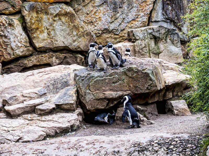Penguins in Berlin Germany. Opened on 1 August 1844, the Zoologischer Garten Berlin was the first zoo in Germany. The aquarium opened in 1913. The first animals stock images