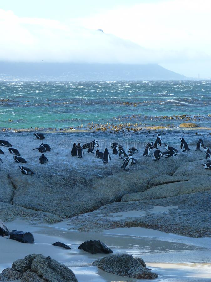 Penguins at Boulder Beach stock photography