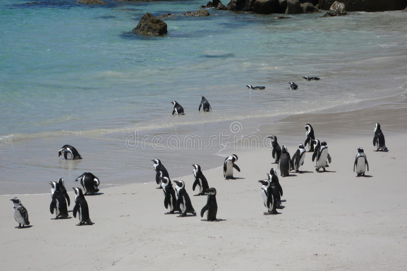 Penguins. At boulder beach.South Africa stock photography