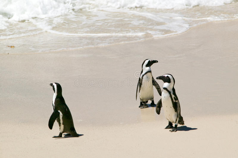 Penguins at Boulders Beach, outside of Cape Town, South Africa royalty free stock photos