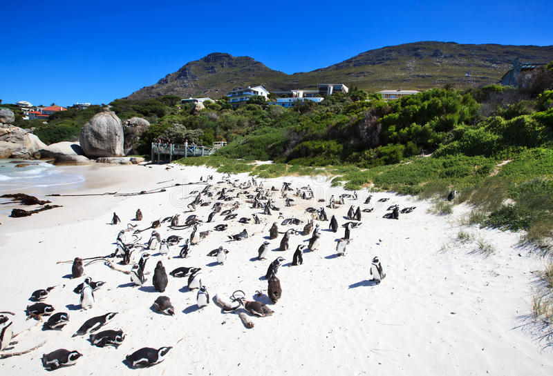Download Penguins At Boulders Beach. South Africa. Stock Photo - Image: 22693680