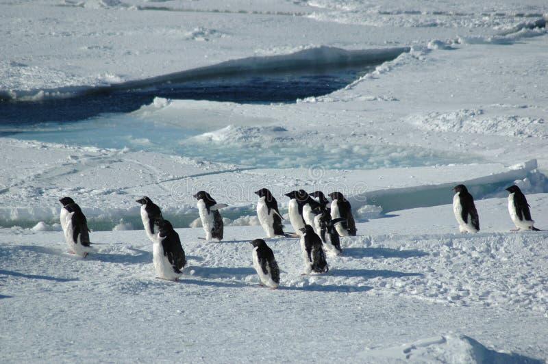 Penguins crossing stock photos