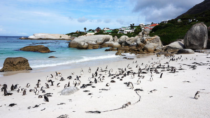 Penguins False Bay Boulders royalty free stock photo