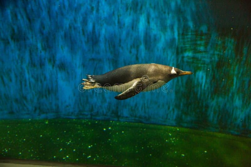 Penguins in Guadalajara Zoo royalty free stock image