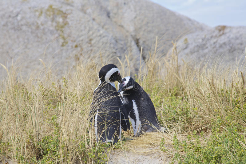 Penguins in love stock photography