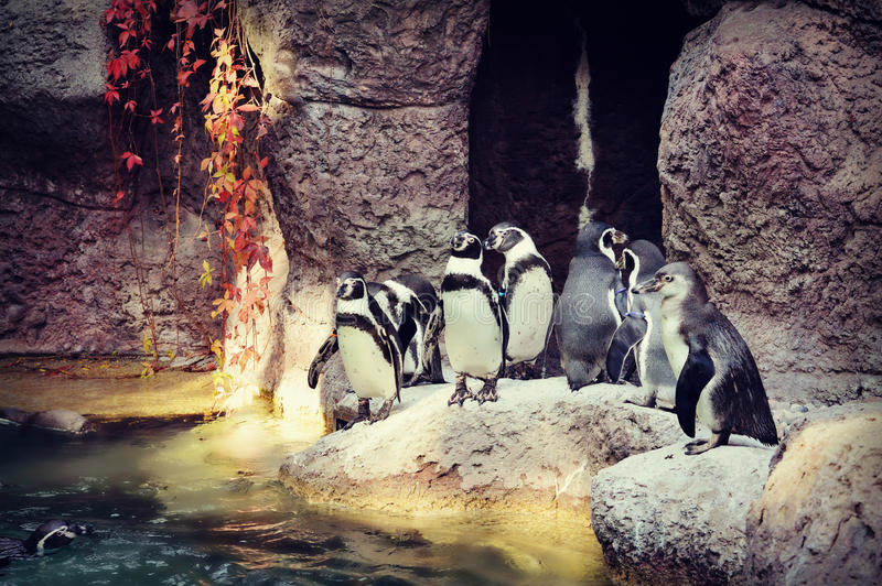 Penguins. At the Milwaukee County Zoo in Milwaukee, Wisconsin in October with red leaves hanging down royalty free stock photos