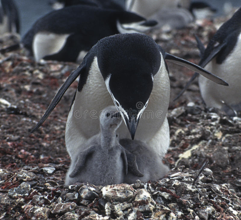 Penguins, Mother and Chick, Antarctica stock images