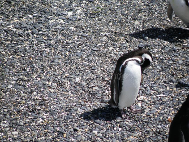 Penguin resting and chequing on its feathers royalty free stock images