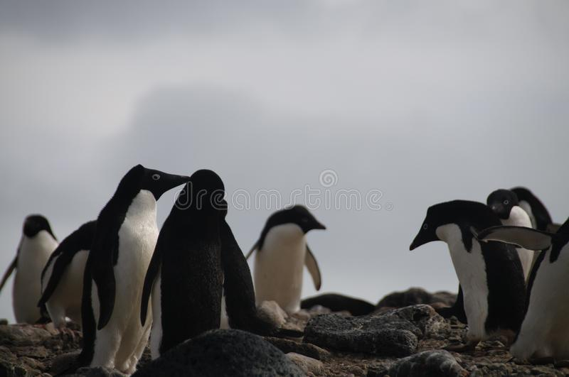 Adelie Penguins on Paulet Island. Penguins at the Paulet Island Rookerie, off the coast of the Antarctic Peninsula royalty free stock image