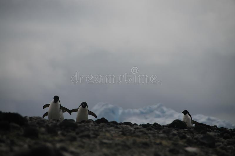 Adelie Penguins on Paulet Island. Penguins at the Paulet Island Rookerie, off the coast of the Antarctic Peninsula royalty free stock images