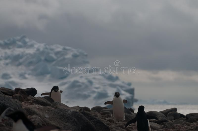 Adelie Penguins on Paulet Island. Penguins at the Paulet Island Rookerie, off the coast of the Antarctic Peninsula stock photo