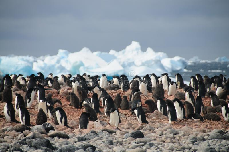 Adelie Penguins on Paulet Island. Penguins at the Paulet Island Rookerie, off the coast of the Antarctic Peninsula stock photography