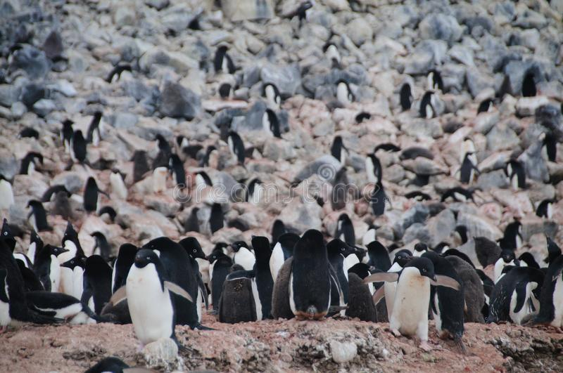 Adelie Penguins on Paulet Island. Penguins at the Paulet Island Rookerie, off the coast of the Antarctic Peninsula royalty free stock photography