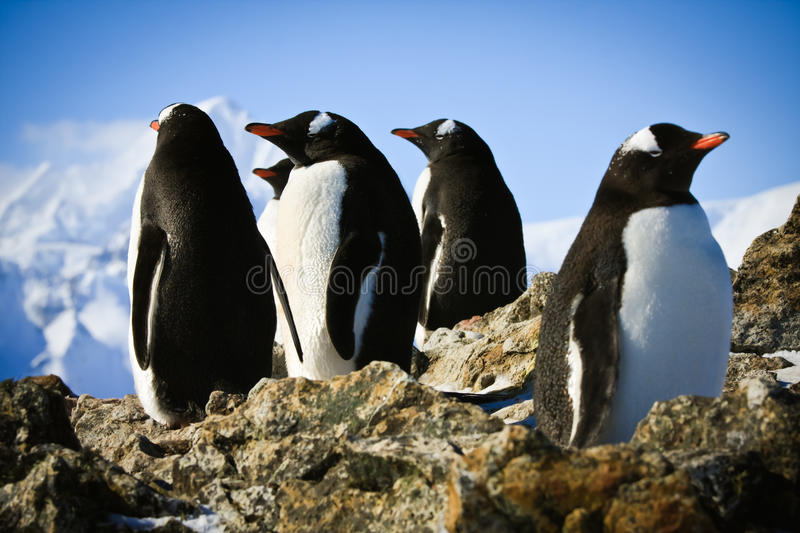 Penguins on rock royalty free stock photo