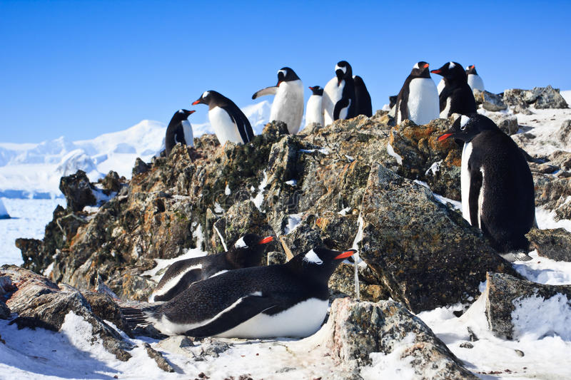 Penguins on rock stock photography