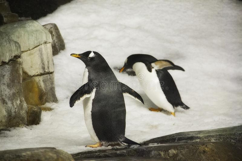 Penguins in the snow at the Montreal Biodome in Montreal Quebec Canada. A picture of penguins in the snow at the Montreal Biodome in Montreal Quebec Canada stock photos