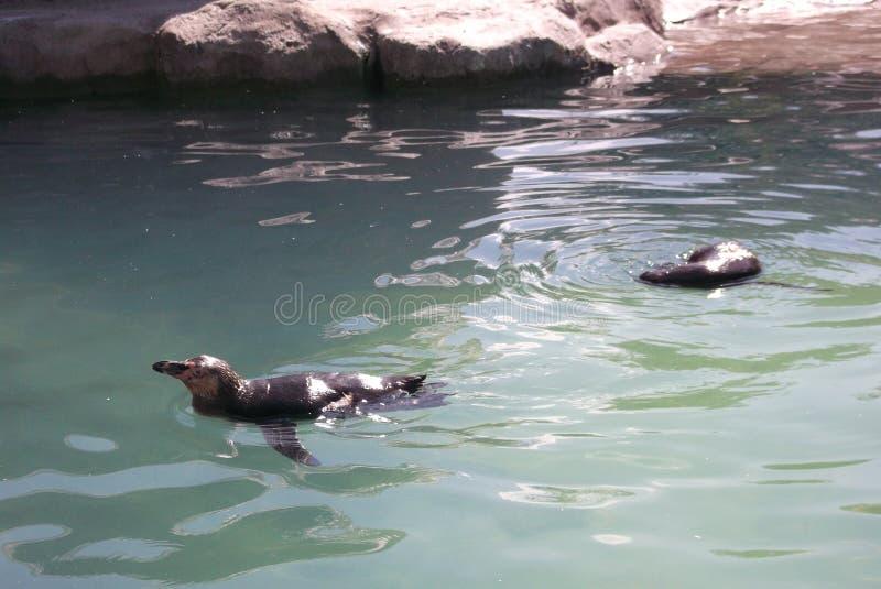 Penguins swimming at west midlands safari park. Animal, animals royalty free stock photography