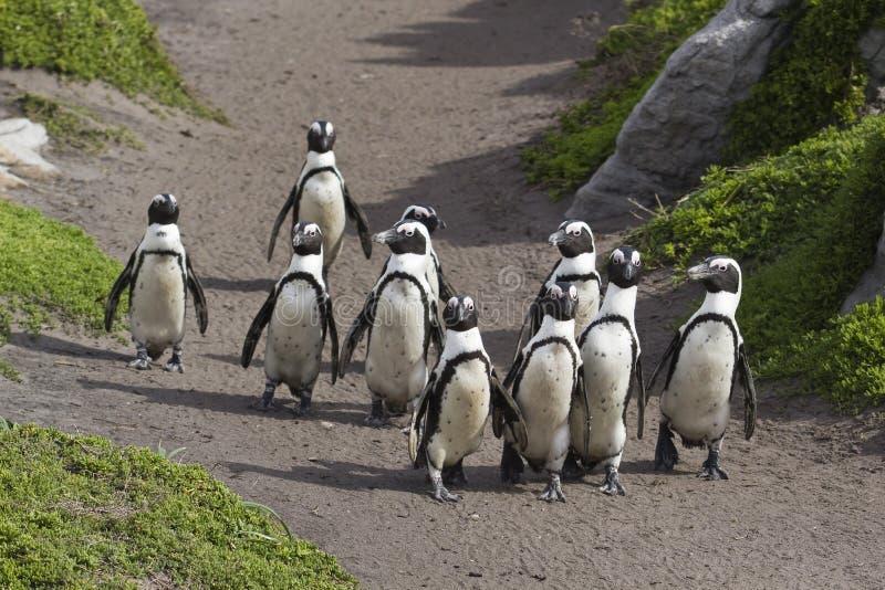Penguins Walking Royalty Free Stock Images