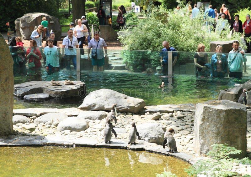 Penguins watching people stock image