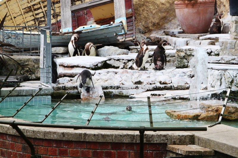 Download Penguins Zoo stock image. Image of swim, swimming, penguins - 15501397