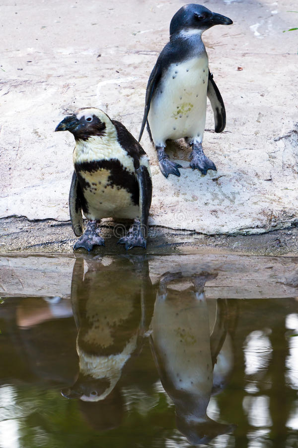 Penguins in the zoo stock images