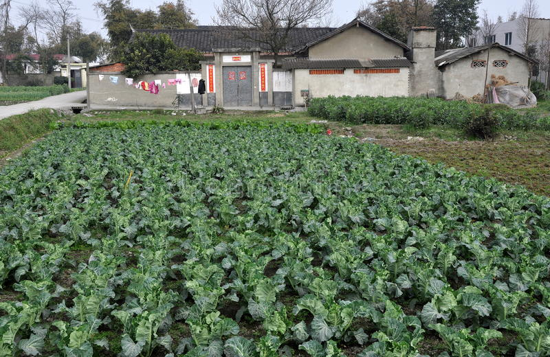 Download Pengzhou, China: Cabbages And Farm Editorial Stock Image - Image: 23770164