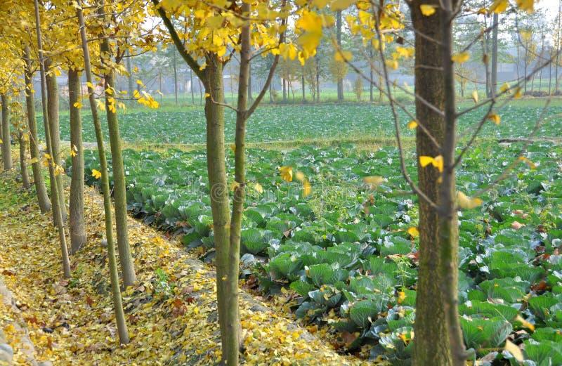 Pengzhou, China: Coles y árboles del Gingko fotografía de archivo
