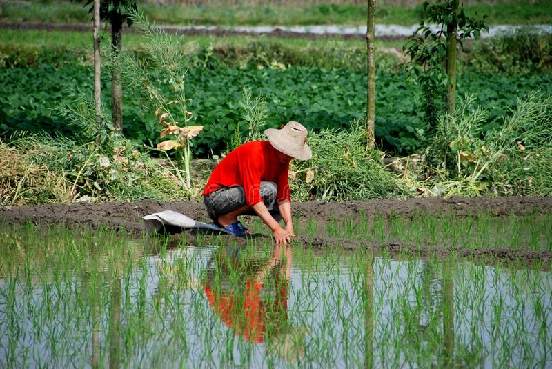 Download Pengzhou, China: Farmer In Rice Paddy Editorial Photo - Image: 14658996