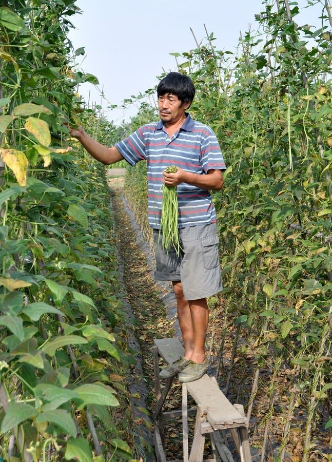 Pengzhou, China: Fazendeiro que escolhe feijões verdes fotografia de stock