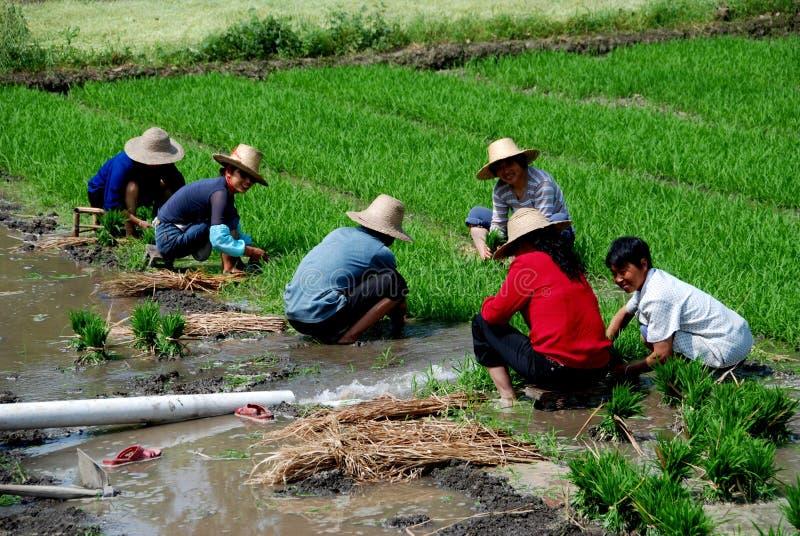 Pengzhou, China: Fazendeiros que plantam o arroz fotos de stock royalty free