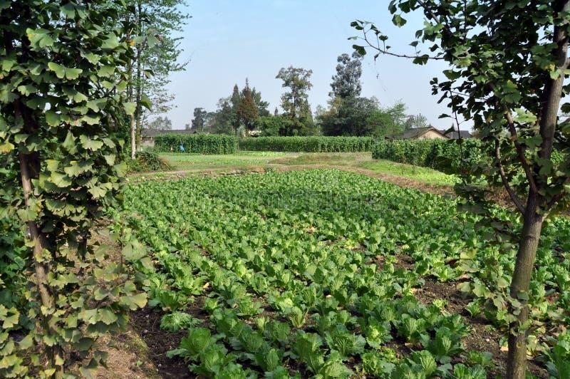 Download Pengzhou, China:  Fields Of Cabbages Stock Photo - Image of green, pengzhou: 11761898